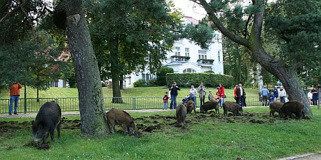 Wildschweine in Heringsdorf 1