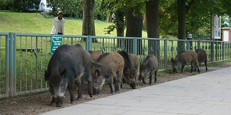 Wildschweine in Heringsdorf 3