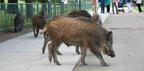 Wildschweine in Heringsdorf 4