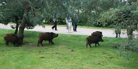 Wildschweine in Heringsdorf 5