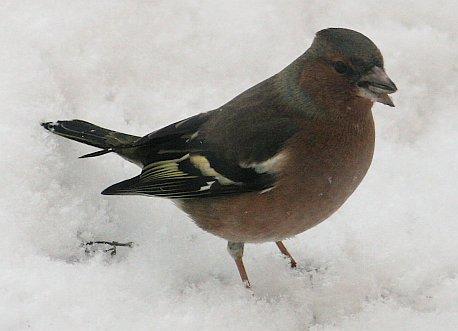 spotter-buchfink.jpg