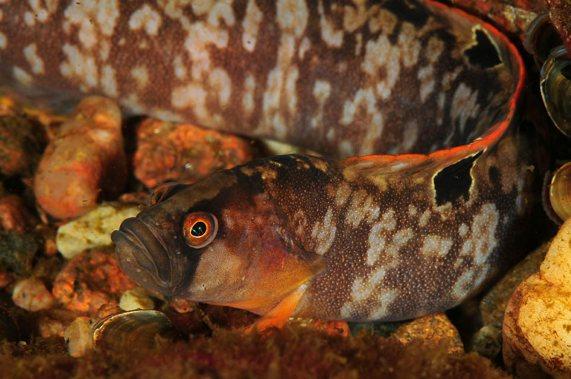 Butterfish (Pholis gunnellus)