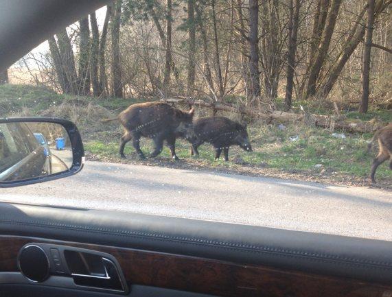 Wildschweine Karsibor 1