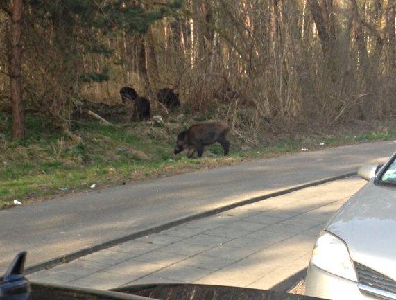 Wildschweine an der Fähre in Karsibor